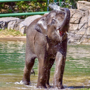 Elephant Batu in the pool at Rosamond Gifford Zoo in Syracuse. Photo courtesy of Sarah Bucksho.